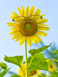 Sunflowers need glasses. Royalty Free Stock Images