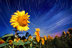 Sunflowers on night - with stars sky and startrails background Royalty Free Stock Photo