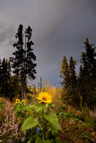 Sunflowers in northern garden in fall Royalty Free Stock Photos