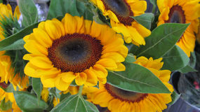 Sunflowers. From northern Thailand in a public outdoor market place Royalty Free Stock Image