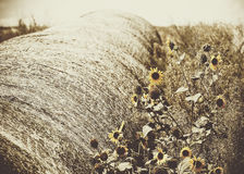 Sunflowers and Old Hay Bale in Weedy Field Rural America Stock Photography