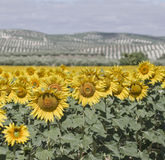 Sunflowers and olives Royalty Free Stock Image
