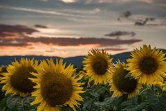 Sunflowers at the sunset. Sunflowers at the orange reddish sunset Stock Image