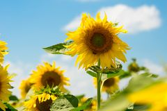 Sunflowers over blue sky background Stock Photography