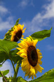 Sunflowers over blue sky. And clouds Stock Photos