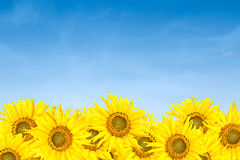 Sunflowers over blue sky in summer Royalty Free Stock Photography
