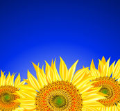 Sunflowers over blue sky. Vector illustration Stock Photo