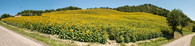 Sunflowers overview. Overview of a field of sunflowers on a hill Stock Photo