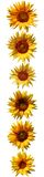 Sunflowers pattern Stock Images