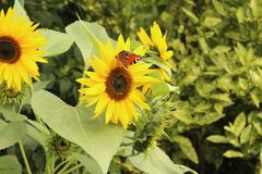Sunflowers with a peacock butterfly in the garden royalty free stock image