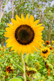 Sunflowers with perennial plant background Royalty Free Stock Images