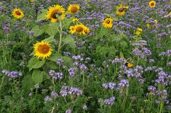Sunflowers and phacelia in agricultural field royalty free stock photography