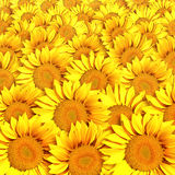 Sunflowers. Photo of Sunflowers background concept Stock Photos
