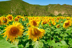 The sunflowers Royalty Free Stock Photography