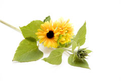 Sunflowers and plant with bud Stock Images