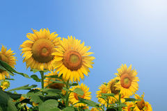 Sunflowers on plant Royalty Free Stock Images