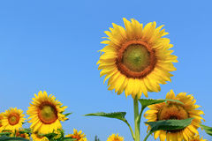Sunflowers on plant Royalty Free Stock Photos