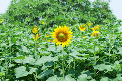 Sunflowers on plant Stock Image