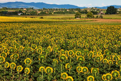 Sunflowers plantation, Tuscany. Stock Image