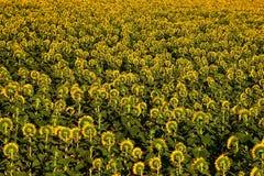 Sunflowers plantation in Tuscany. Royalty Free Stock Image