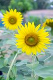 Sunflowers are planted in the field. Beautiful sunflowers are planted in the field Royalty Free Stock Photo