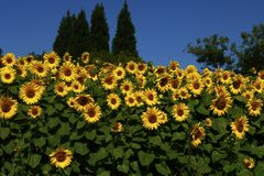 Sunflowers planted together. Sunflowers looking spectacular planted together as a screen Stock Image