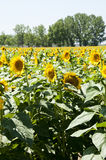 Sunflowers. Planting sunflowers in Bellvis, Catalonia, Spain Royalty Free Stock Images