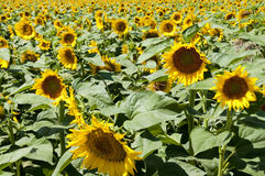 Sunflowers. Planting sunflowers in Bellvis, Catalonia, Spain Royalty Free Stock Photos