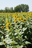 Sunflowers. Planting sunflowers in Bellvis, Catalonia, Spain Stock Image