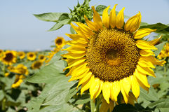 Sunflowers. Planting sunflowers in Bellvis, Catalonia, Spain Royalty Free Stock Photo