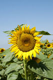 Sunflowers. Planting sunflowers in Bellvis, Catalonia, Spain Royalty Free Stock Photography