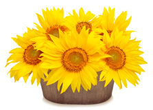 Sunflowers in pod isolated on white background Stock Photo