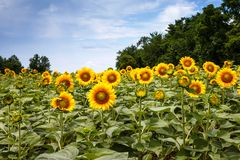 Sunflowers in Poolesville Maryland. Bright, cheery, bold and brilliant yellow sunflowers in a field that seem to be posing and waiting to lift the spirit of royalty free stock photo