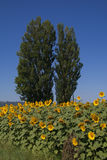 Sunflowers and poplars Royalty Free Stock Image
