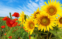 Sunflowers and poppies Royalty Free Stock Photo