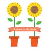 Sunflowers Pot Plant Stock Images