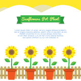 Sunflowers Pot Plant Stock Image