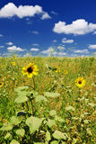 Sunflowers in prairie Stock Images