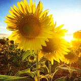 Sunflowers. Pretty yellow sunflowers backlit by the sun royalty free stock photos