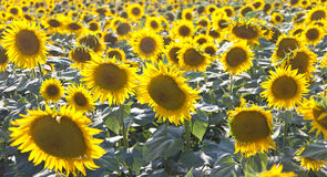 Sunflowers. In Provence, Southern France Royalty Free Stock Photos