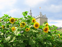 Sunflowers in Quebec city Royalty Free Stock Photos