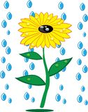 Sunflowers and rain drops on isolated Royalty Free Stock Photos