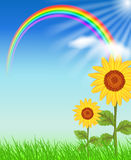 Sunflowers and rainbow. Sunflowers, grass, sun  and rainbow Stock Images