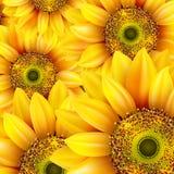 Sunflowers, realistic illustration. EPS 10 Royalty Free Stock Photos