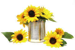 Sunflowers in recycling tin Royalty Free Stock Photos