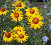Sunflowers With Red Centres And Flax Royalty Free Stock Image