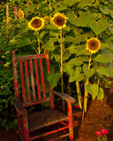 Sunflowers and the Red Chair Royalty Free Stock Images