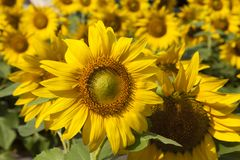 Sunflowers in the sun. Sunflowers rejoice to the sun and turn after it Stock Photography
