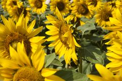 Sunflowers in the sun. Sunflowers rejoice to the sun and turn after it Stock Images
