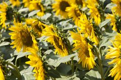 Sunflowers in the sun. Sunflowers rejoice to the sun and turn after it Royalty Free Stock Photo